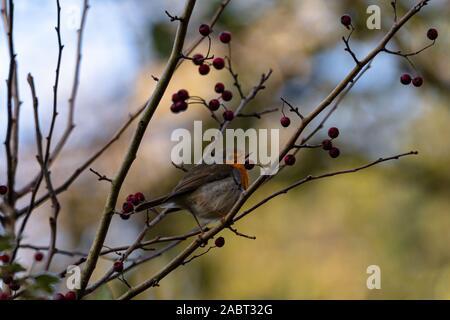 Rotkelchen auf einen Vogelbeerenzweig - Stock Photo