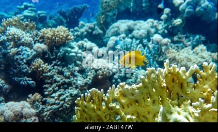 Bright Yellow Tropical Fish In The Ocean. Saltwater Fish In The Sea Near Coral Reef. Close Up Of Branching Fire Coral (Millepora alcicornis). Underwat - Stock Photo