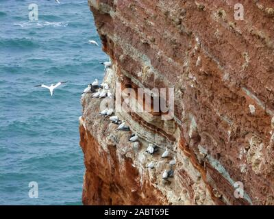 Colony of northern gannets seabirds, Morus bassanus, on the red cliffs of the island Helgoland in the German Bight, North Sea, Germany - Stock Photo