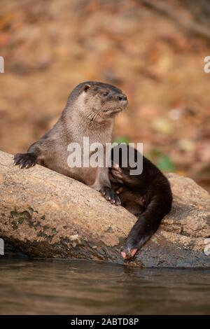 A Neotropical Otter (Lontra longicaudis) from South Pantanal, Brazil