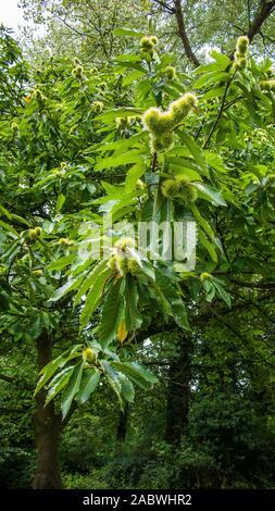 ast einer edelkastanie mit geschlossenen stacheligen fruchthuellen
