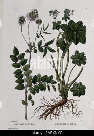 Two flowering plants burnet (Sanguisorba officinalis) and lady's mantle (Alchemilla vulgaris). Coloured etching by C. Pierre, c. 1865, after P. Naudin..jpg - 2ABXNYC - Stock Photo