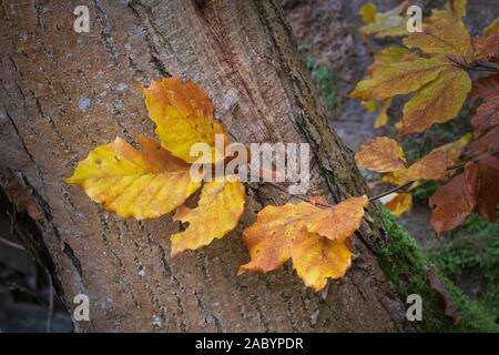 Beech leaves Fagus sylvatica in autumn woodland - Stock Photo