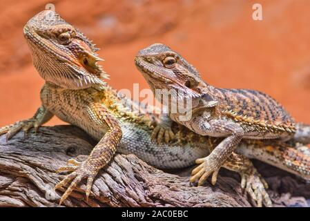 two bearded dragons sitting together in their terrarium - Stock Photo