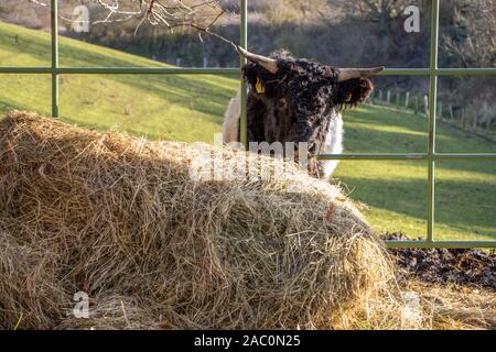 small black and white Galloway calves stand on a pasture and eat hay - Stock Photo