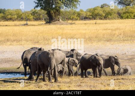 Herd of African Elephant, Loxodonta africana, at a waterhole, Bushman Plains, Okavanago Delta, Botswana - Stock Photo