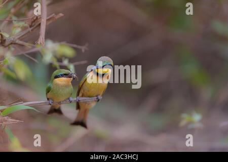 Bee eater close up portrait chick - Stock Photo
