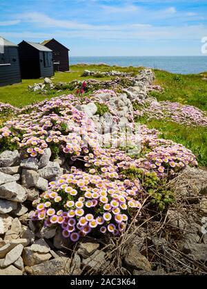 Beach Aster Seaside Daisy or Fleabane - Erigeron glaucus growing amongst quarried portland stone walling blocks on Portland Bill in Dorset UK