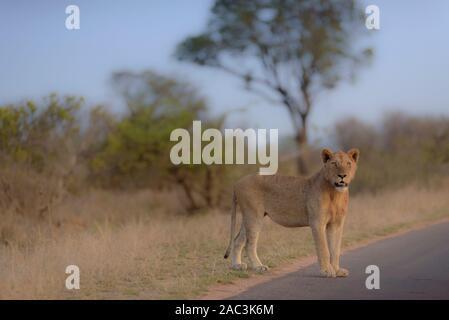 Best lioness portrait - Stock Photo