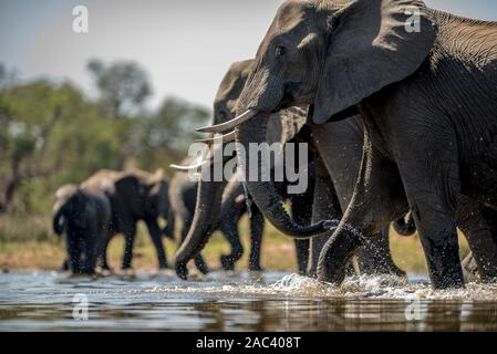 Elephant herd gather elephants African elephant