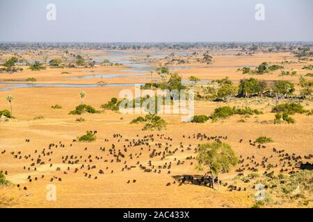 Aerial view of a herd of African buffalo or Cape Buffalo, Syncerus caffer, Macatoo, Okavango Delta, Botswana - Stock Photo