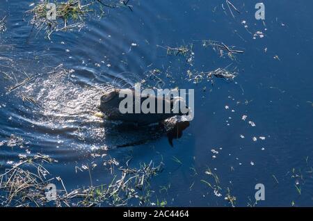 Aerial view of African buffalo or Cape Buffalo, Syncerus caffer, Macatoo, Okavango Delta, Botswana - Stock Photo
