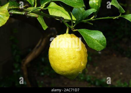 Zitrone am Zitronenbaum