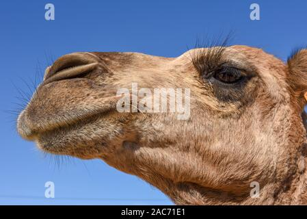 Head of young camel at Sousse on Tunisia - Stock Photo