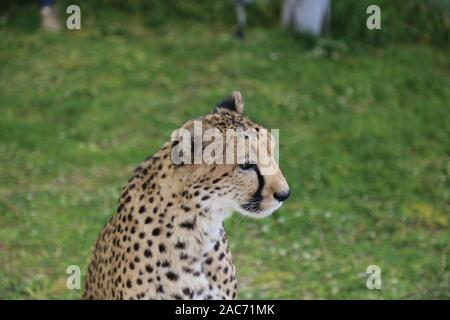 Cheetah in the rehabilitation center in Namibia - Stock Photo
