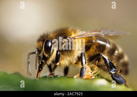Hongbiene, (Apis mellifera), - Stock Photo