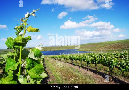 Vineyard at south of Portugal, Alentejo region - Stock Photo
