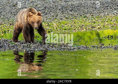 Coastal grizzly bear cub (brown bear, Ursus arctos) walking along the low tide line in Knight Inlet, First Nations Territory, British Columbia, Canada - Stock Photo