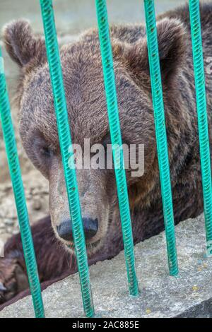 portrait of  brown bear in a cage - Stock Photo