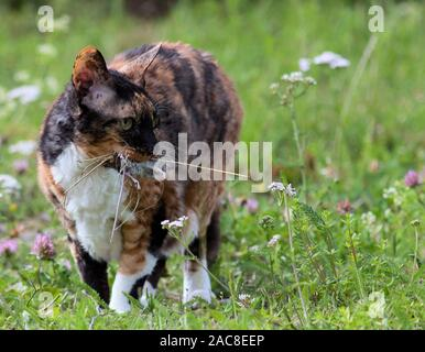 Cat carrying a mouse that she caught - Stock Photo