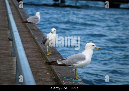 Three seagulls standing on the edge of the pier. Close up view of white and grey birds seagulls in front of natural blue water background. - Stock Photo