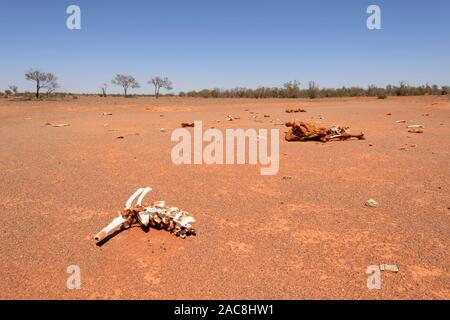 Remains of cattle that perished in a drought in the Australian Outback, Milparinka, New South Wales, NSW, Australia - Stock Photo