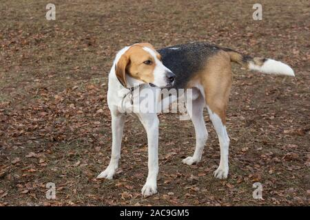 Cute russian hound is standing on orange foliage in the autumn park. Pet animals. Purebred dog. - Stock Photo