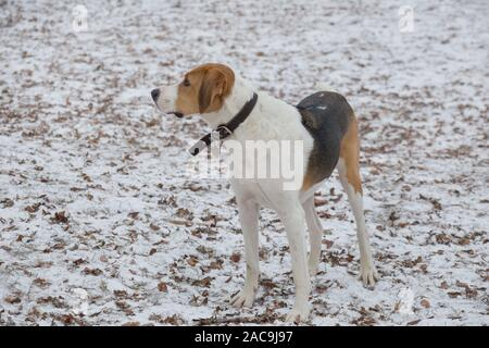 Cute russian hound is standing on white snow in the winter park. Pet animals. Purebred dog. - Stock Photo