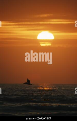 red sunset, sonnenuntergang, coast, kueste, pelican, pelikan, florida, amerika, america, usa, - Stock Photo