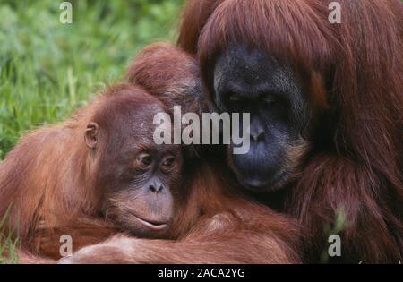 Sumatran Orang-utan / Sumatra-Orang-Utan , sumatra, indonesien, indonesia - Stock Photo
