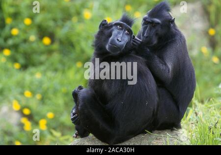 schoopfmakak, schopfaffe, macaca nigra, celebes crested macaque, crested black macaque, sulawesi crested macaque, black ape - Stock Photo