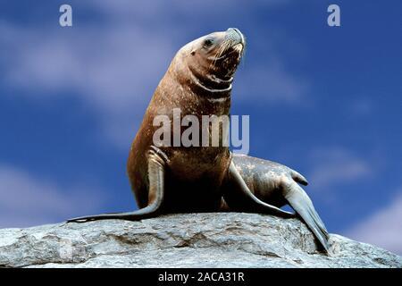 Maehnenrobbe, otaria byronica, Suedamerikanischer Seeloewe, Otaria flavesceus, South american Sea Lion, Southern Sea Lion - Stock Photo