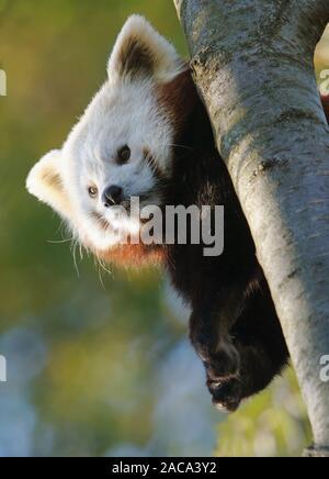 panda gopher
