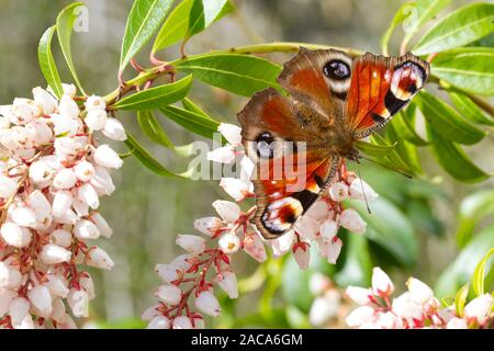 Peacock (Aglais io) adult butterfly feeding on Pieris japonica flowers in a garden. Powys, Wales. March. - Stock Photo