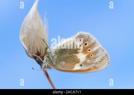 Large Heath (Coenonympha tullia ssp. polydama) adult butterfly resting on Cotton-grass. Ceredigion, Wales. June. - Stock Photo