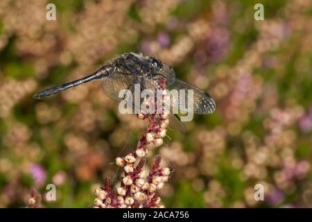 Black darter dragonfly (Sympetrum danae) adult male perched on heather.  Cors Fochno, Ceredigion, Wales. September. - Stock Photo