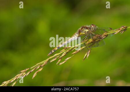 Black darter dragonfly (Sympetrum danae) adult female.  Cors Fochno, Ceredigion, Wales. September. - Stock Photo
