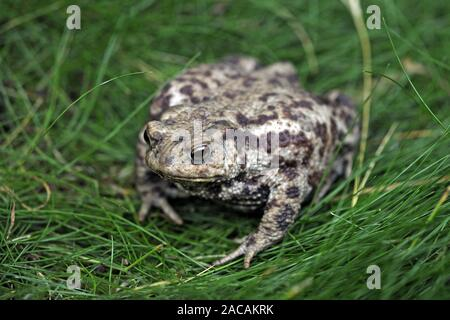 Erdkroete, Bufo bufo - Stock Photo