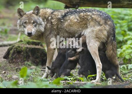 European wolf (Canis lupus lupus) with pup, puppy - Stock Photo