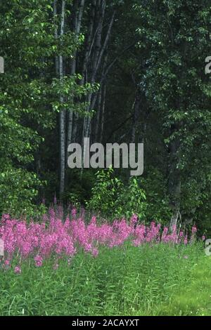 Perennial fireweed (Epilobium angustifolium) - Stock Photo