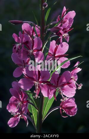 Perennial fireweed (Epilobium angustifolium) - Stock Photo