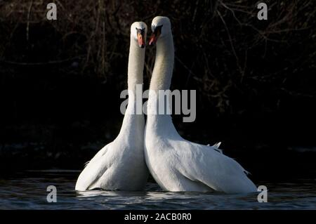 Hump swans courtship / Displaying Mute Swan / Cygnus olor Stock Photo