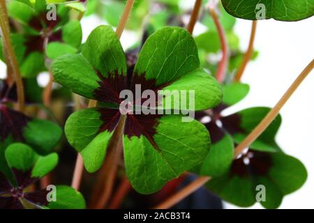 The picture shows beautiful lucky clover - Stock Photo