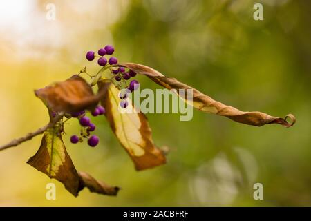 Shrub of Beautyberry ( Callicarpa Dichotoma) with Purple berries in the autumn and yellow leaves - Stock Photo