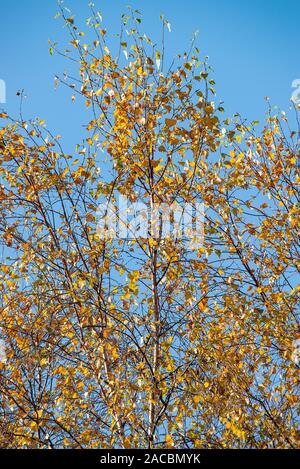Brown Autumnal Leaves on Branches at the Top of a Silver Birch Tree in a Garden in Alsager Cheshire England United Kingdom UK - Stock Photo