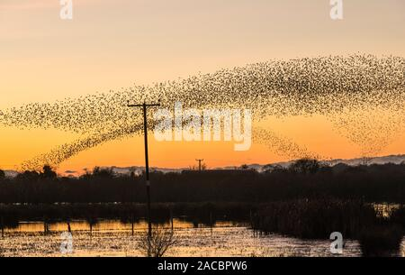 A large starling murmuration at Whixall Moss, near Whitchurch, Shropshire, UK, seen against a glorious sunset - December 2019