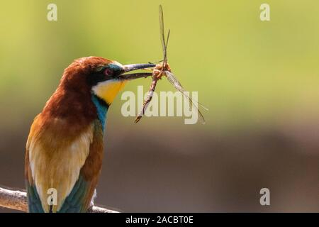 European bee-eater, Merops apiaster, sitting on a stick with a dragonfly in his beak, in nice warm morning light, Csongrad, Hungary - Stock Photo