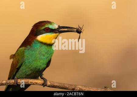European bee-eater, Merops apiaster, sitting on a stick with an insect in his beak, in nice warm morning light, Csongrad, Hungary