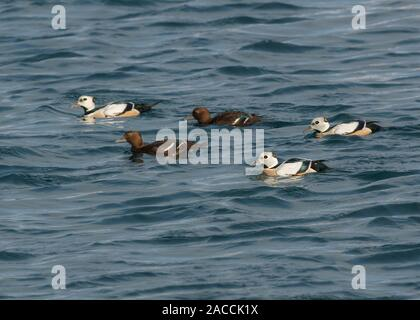 Eider Stellers (Polysticta stelleri), group of males and females swiming, Båtsfjord, Varanger,  Arctic Norway, - Stock Photo