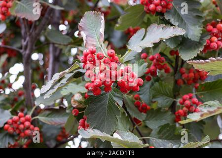 Rowan red-orange berries in autumn - Stock Photo